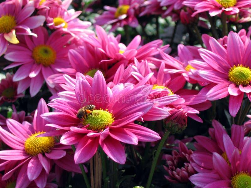Download Pink Chrysanthemum Stock Photography - Image: 515562