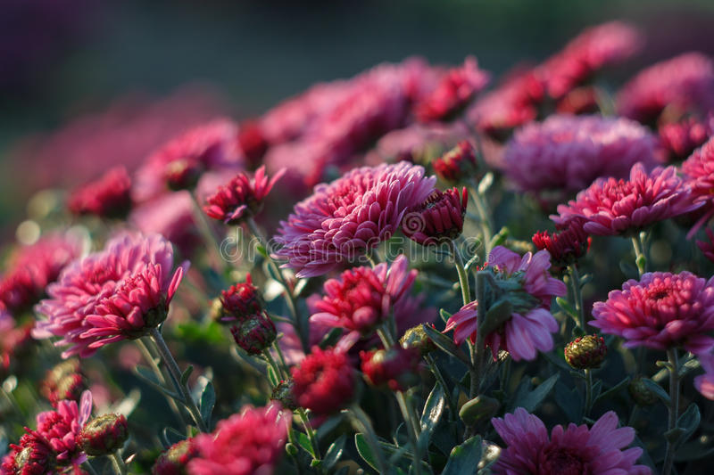 Pink chrysanthemum bush stock photos