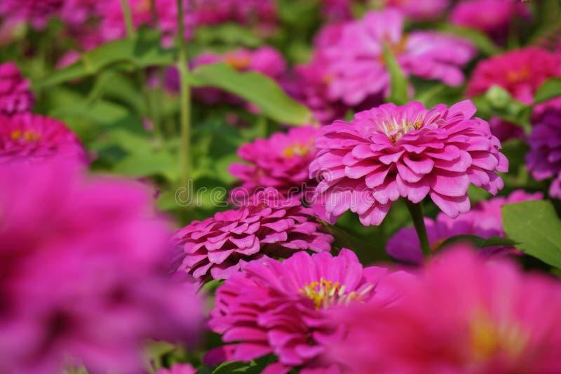 Pink chrysanthemum flower in the garden. Close up pink chrysanthemum flower in the garden stock photo