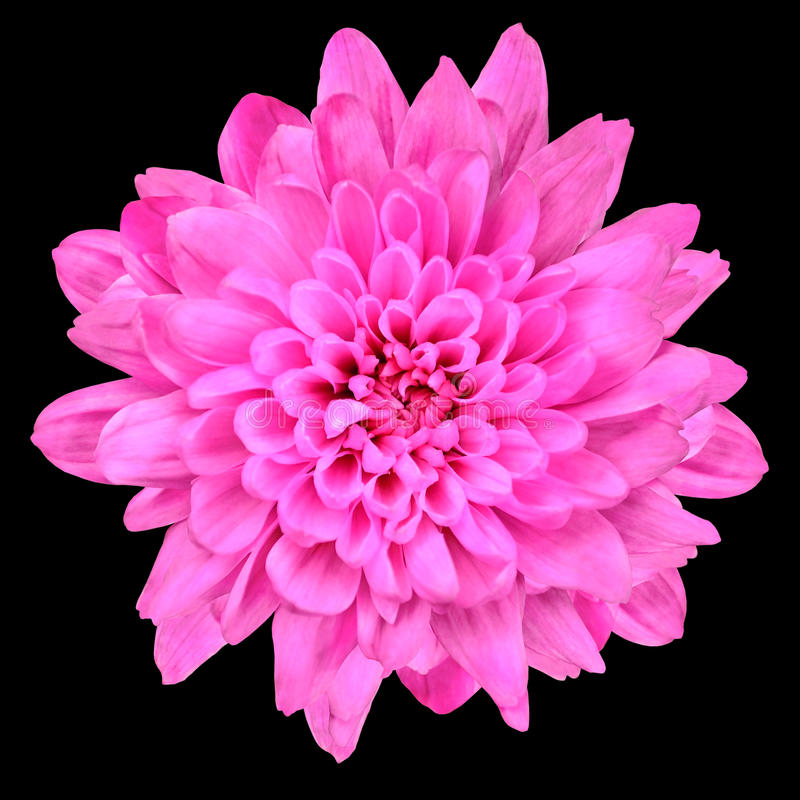 Download Pink Chrysanthemum Flower Isolated Over Black Stock Photo - Image: 19770636