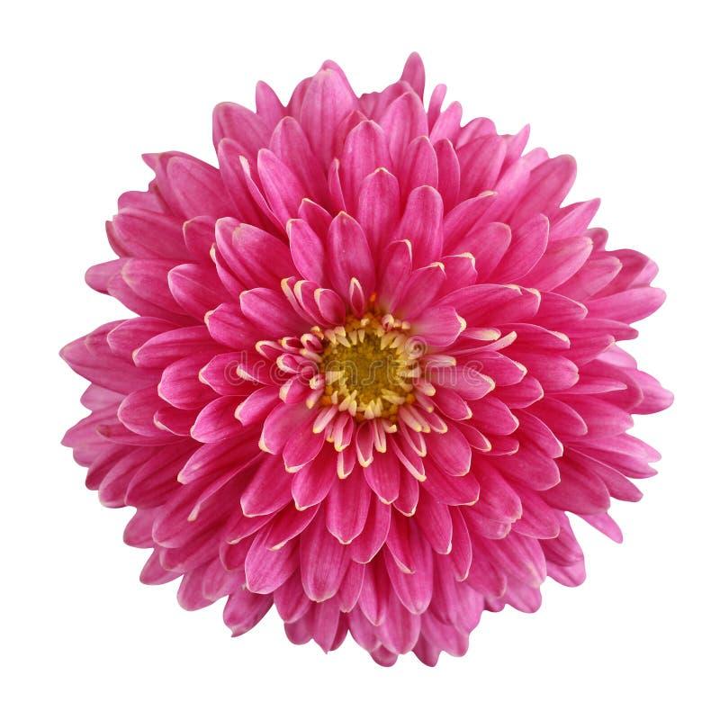 Pink chrysanthemum flower isolated on white background stock photo