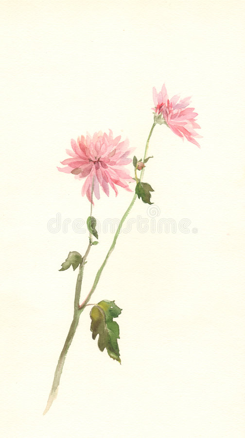 Free Pink Chrysanthemum Flower Watercolor Painting Stock Photos - 4297403