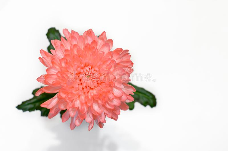 pink chrysanthemum flower on white background stock photography