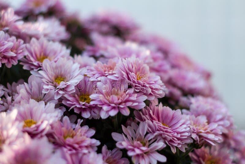 Pink Chrysanthemum Flowers In Bloom Free Public Domain Cc0 Image