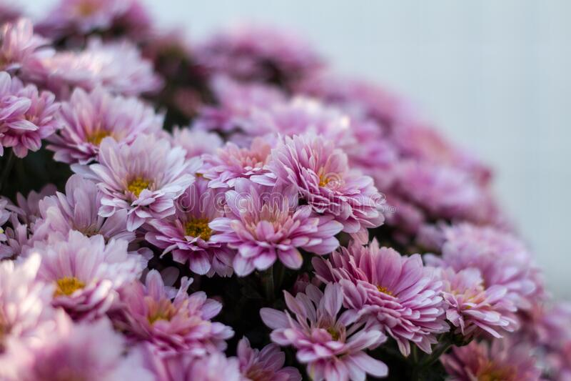 Pink chrysanthemum flowers in bloom royalty free stock photography