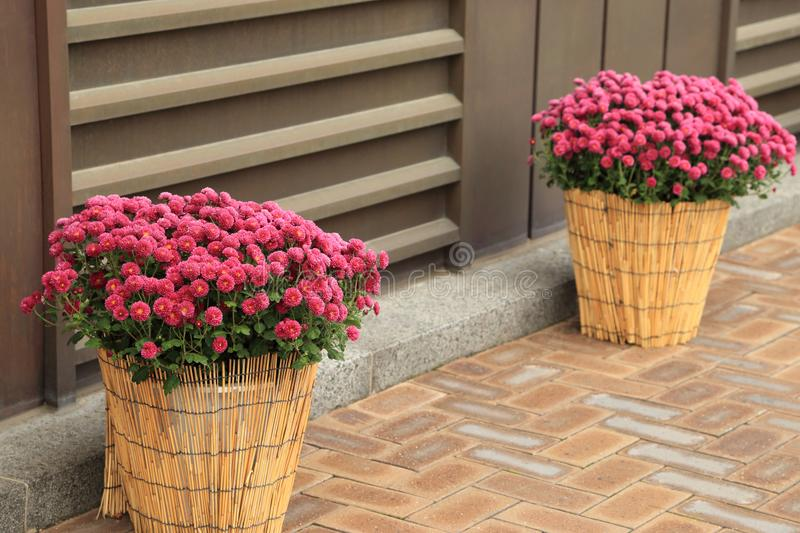 Pink chrysanthemum flowers in flowerpot decorated outside building stock images