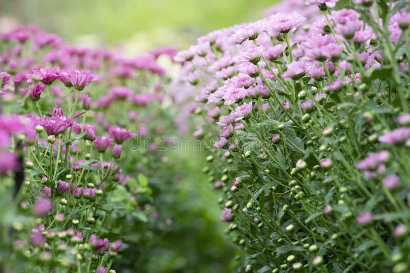 Pink Chrysanthemum flowers stock images