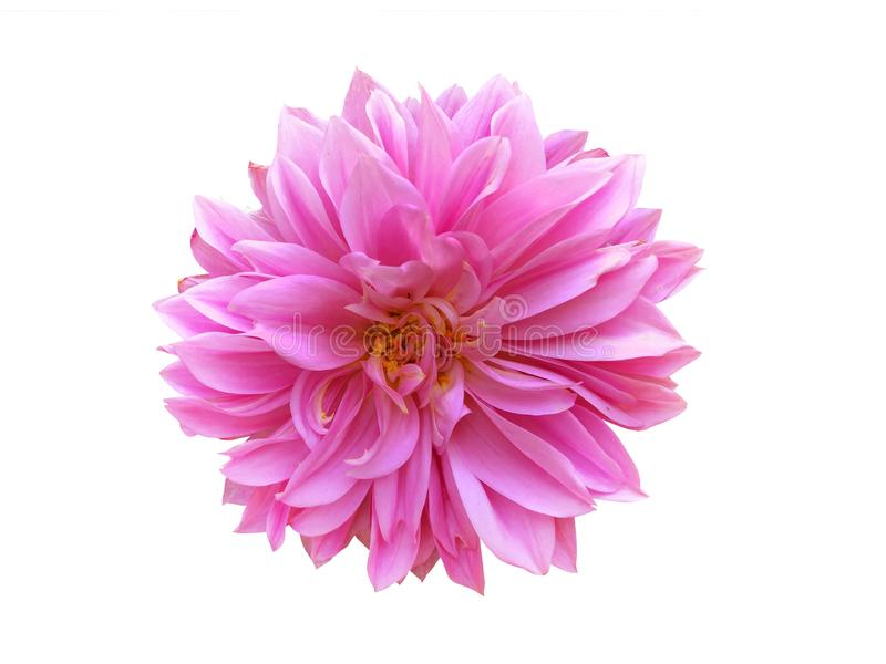 A pink chrysanthemum isolated on a white background stock photos