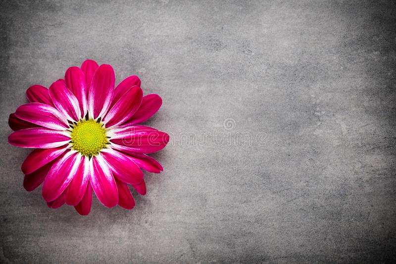 Pink chrysanthemum on yellow backgrounds. royalty free stock image