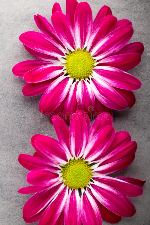 Pink chrysanthemum on yellow backgrounds. stock photography