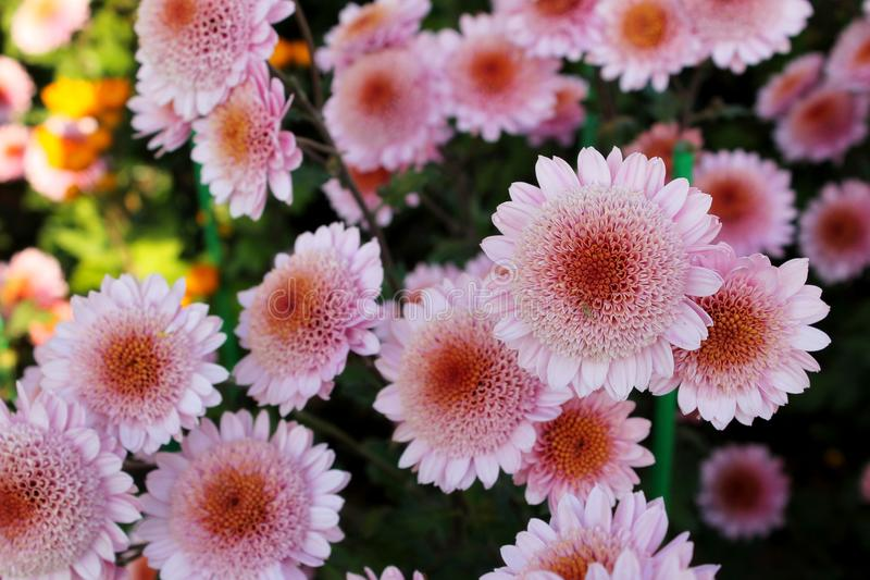 Pink chrysanthemums. In the garden royalty free stock photography