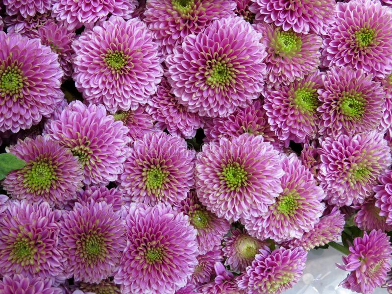 Pink chrysanthemums with green centers royalty free stock photos