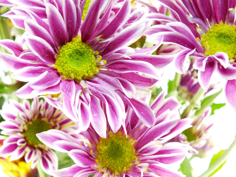 Pink chrysanthemums pink flowers bouquet. Beautiful chrysanthemums pink flowers bouquet close up stock photos
