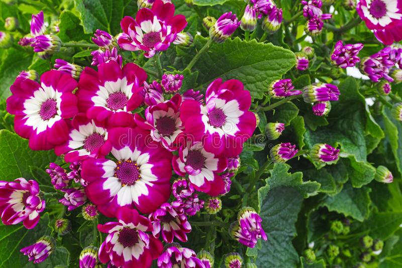 Pink cineraria flowers. Beautiful spring home plants stock photos