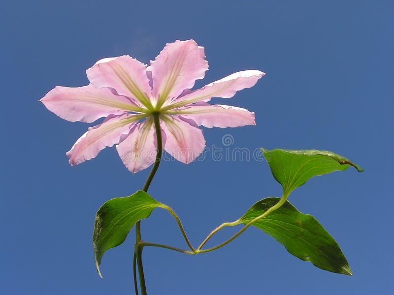 Download Pink clematis stock photo. Image of season, clear, elegant - 161104