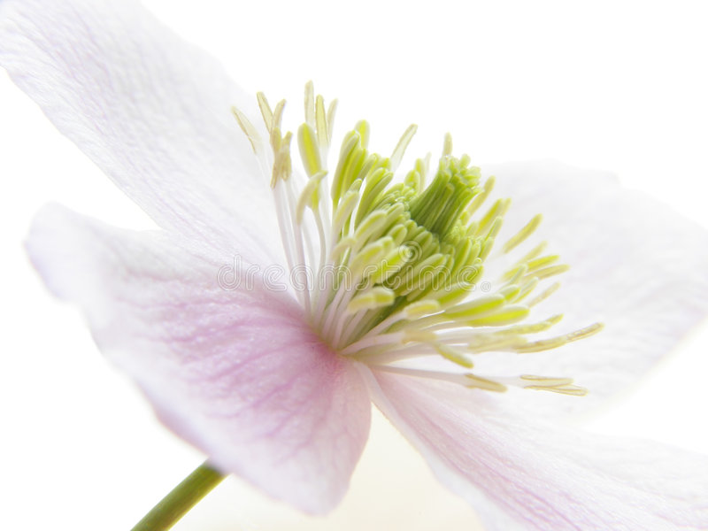 Pink clematis royalty free stock images