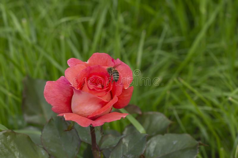 Pink closed rose flower, a bee pollinates a rose bud on a background of green grass stock images