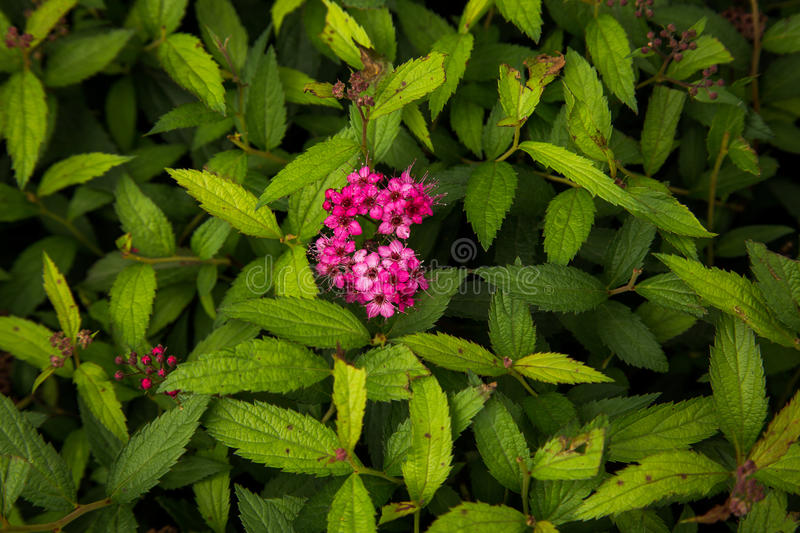 Pink clove flowers royalty free stock image