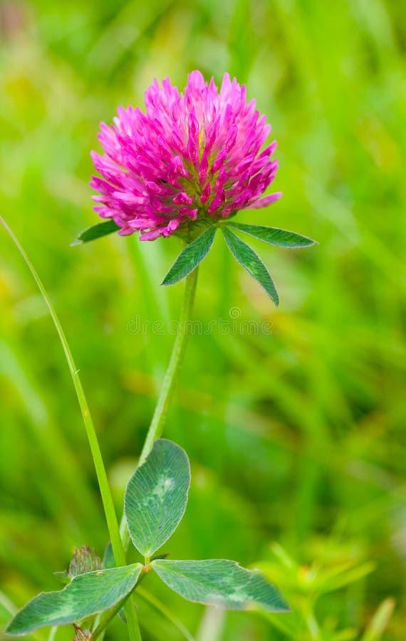 Pink clover royalty free stock photos