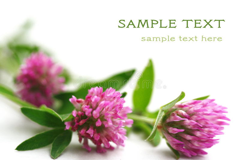 Pink clover stock photography