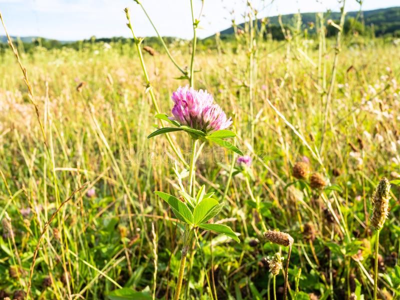 Pink clover close-up on meadow at summer sunset royalty free stock images