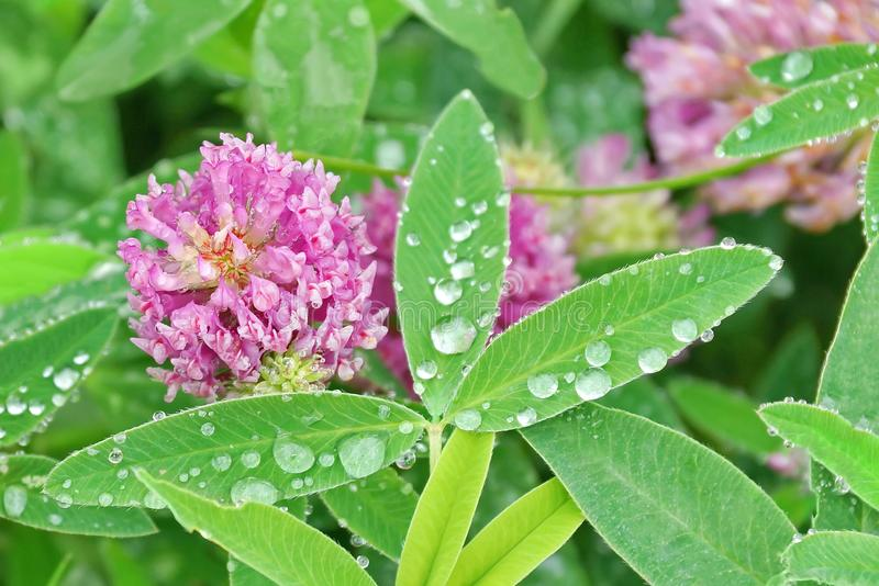 Pink clover on the field close-up raindrops on leaves royalty free stock photo