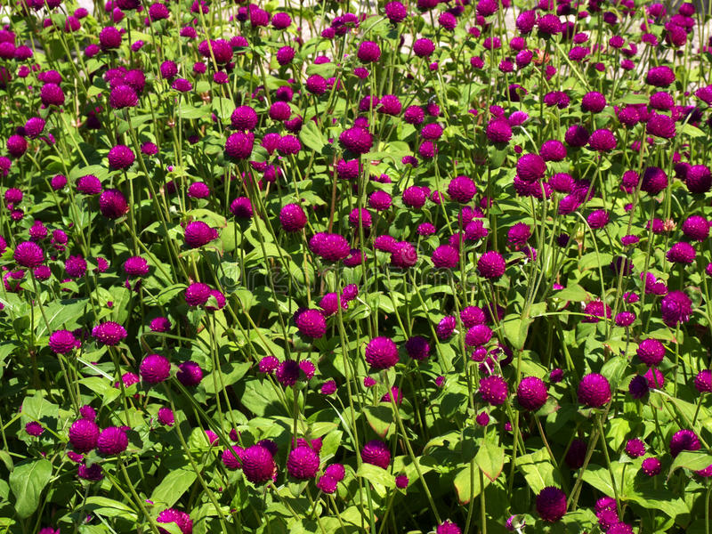 Download Pink Clover Flower Bed Lot In The Sunlight. Royalty Free Stock Image - Image: 10877176