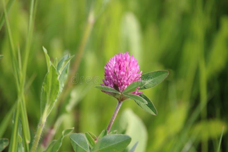 Pink clover flower stock photo
