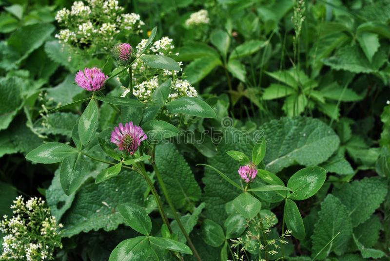 Pink clover flower on soft emerald leaves and grass, white small flowers behind. Top view stock photos