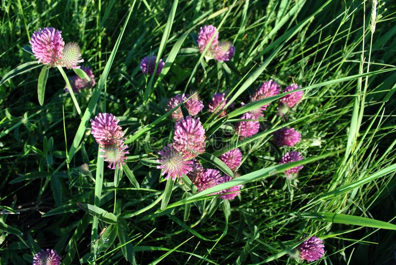Pink clover flowers on soft emerald green bokeh grass background. Top view royalty free stock images