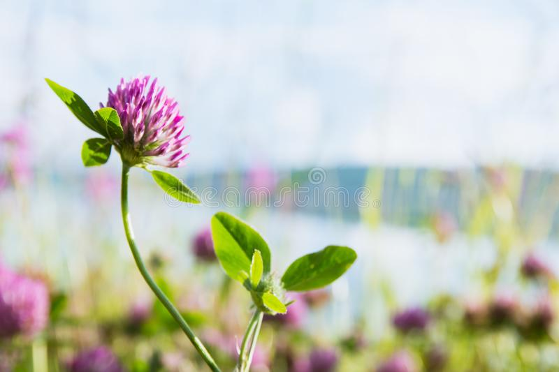 Clover on a bright green background royalty free stock photography
