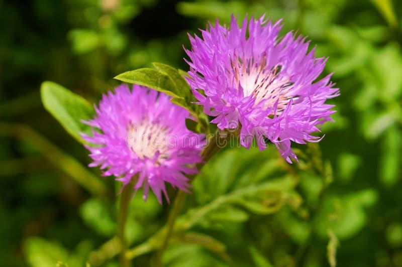 Clover wild flower, pink clover summer flowering plant. Pink clover summer flowering plant, clover wild flower stock image