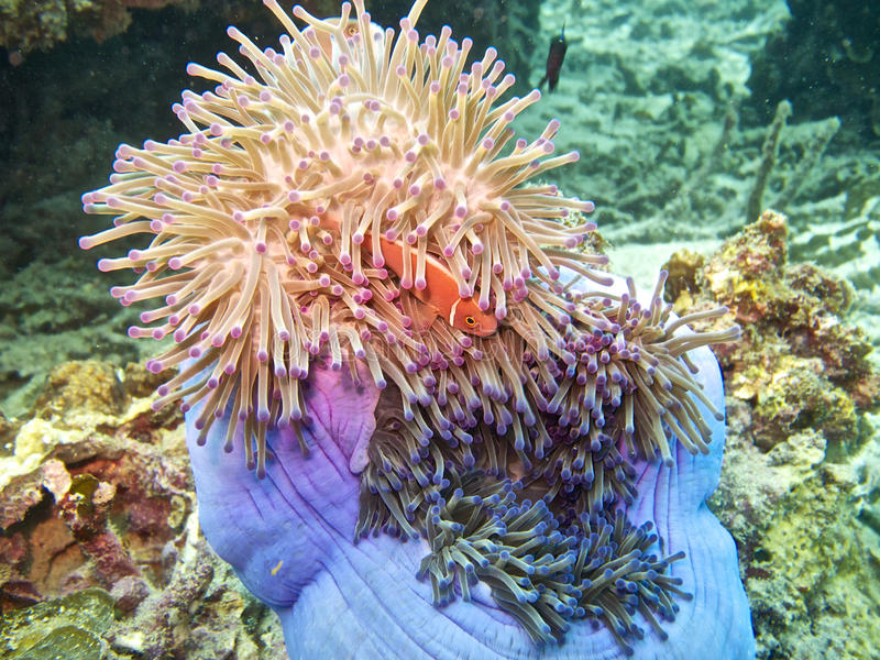 Pink clown fish in magnificent anemone