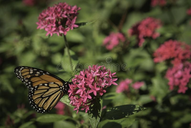 Pink cluster flower bush with monarch butterfly stock images