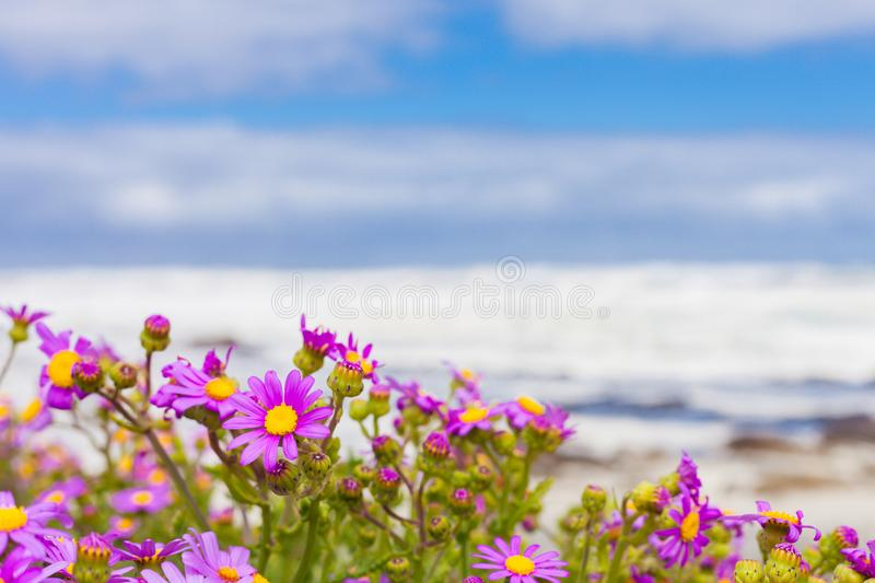 Pink coastal flowers on a beach in cape town south africa stock download pink coastal flowers on a beach in cape town south africa stock image image mightylinksfo