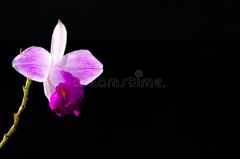 Pink color bamboo orchid Arundina graminifolia is a orchid with reedy stems isolated on dark background with space for text royalty free stock images