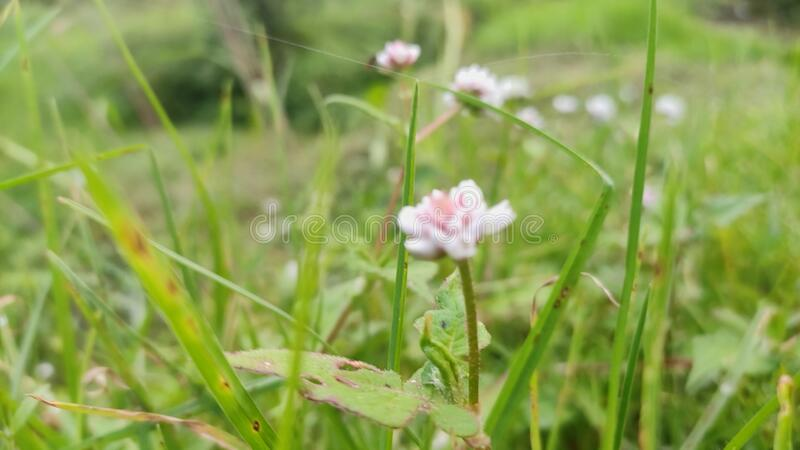 A pink color flower in a jungle. A beautiful pink color flower in a jungle. Pink flower in green grasses looks fabulous. Beauty of Nature royalty free stock images