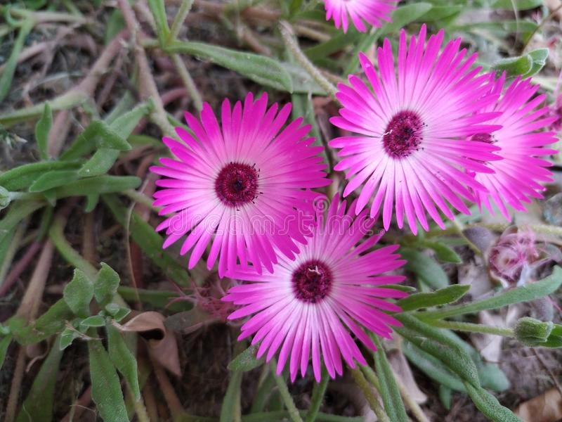 Pink color flower named livingstone daisy. Flower is pink in color and is called livingstone daisy royalty free stock photography