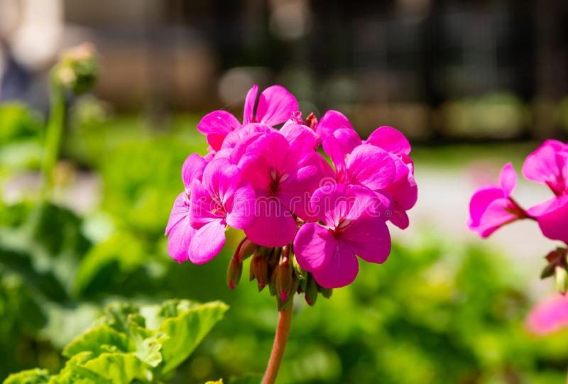 Pink color geranium flower and leaves against blur green nature  background. Closeup view. Bright pink color geranium flower and leaves against blur green nature stock photo