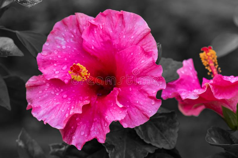 Pink colour hibiscus flowe royalty free stock image
