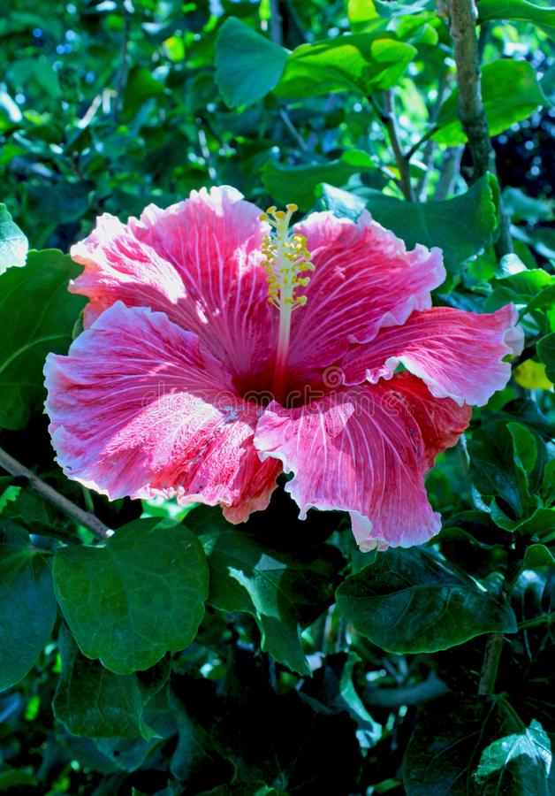 Pink color Hibiscus flower, Rose Mallow flower. Beautiful large purple violet color flower of Rose mallow. Hibiscus is a genus of flowering plants in the mallow stock photography