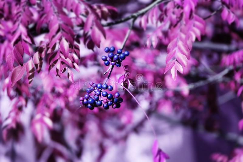 Pink Neem Tree With Fruit stock photos