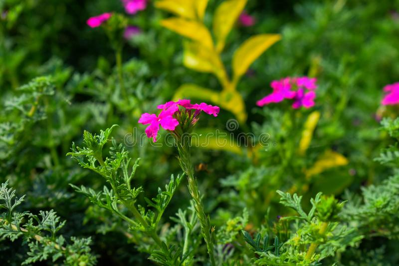 Pink colored attractive flowers in the garden with green leaves in the background royalty free stock images