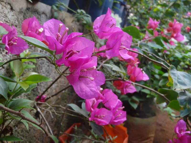 Bougainvillea Or bouganvilla flowers in pink colour stock photography
