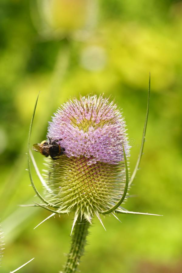 Distel Flower Photos Free Royalty Free Stock Photos From Dreamstime