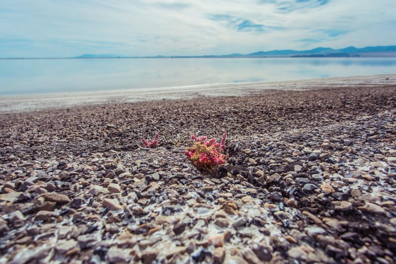 Bonneville Salt Flats, Tooele County, Utah, United States. Pink colored plants growing from stony path with crystal clear water and cloudy blue sky. Bonneville stock photos