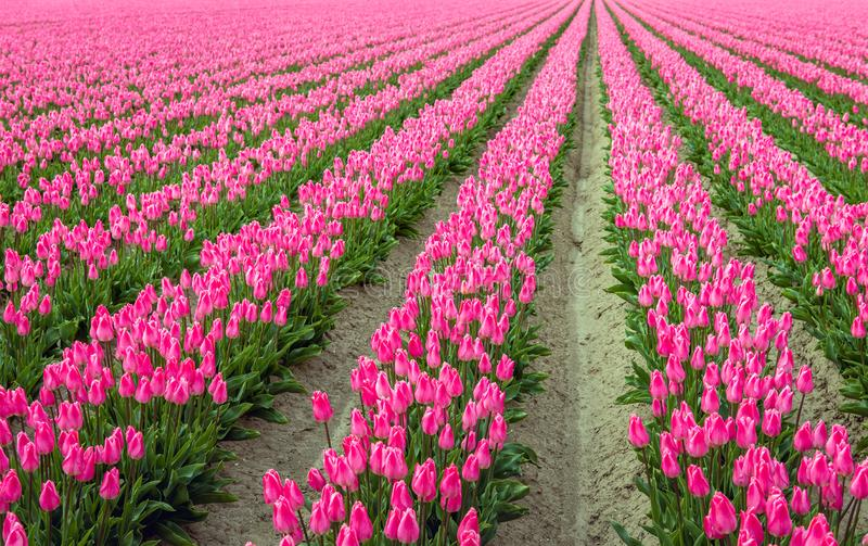 Pink colored tulip flowers in long converging rows. The photo was taken at the start of the spring season at a specialized tulip bulb nursery in the stock image