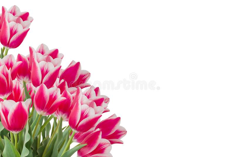 Pink colored tulips with green leaves isolated on white background. Diagonal copy space royalty free stock photography