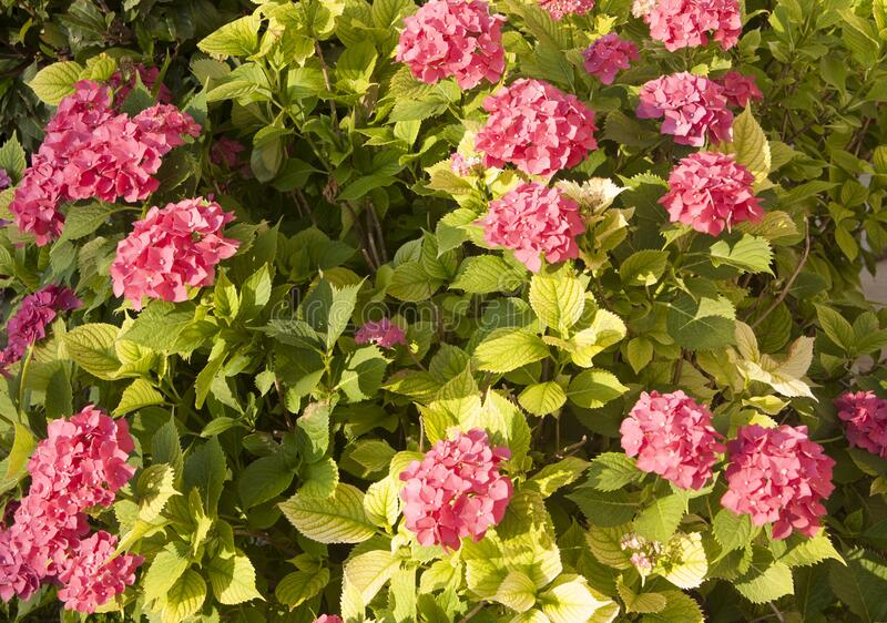 Pink colour hydrangea flower on branch with green leaves. royalty free stock photo