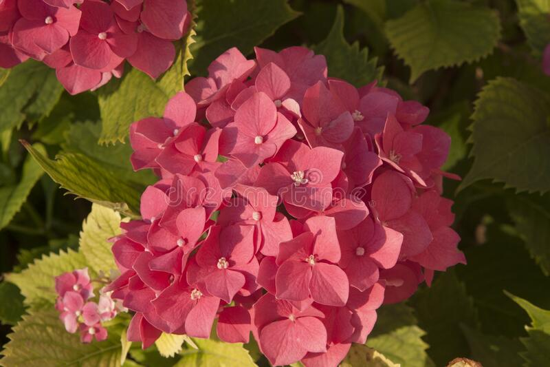 Pink colour hydrangea flower on branch with green leaves, Bulgaria. royalty free stock photos